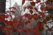 2013年10月11日-尾瀬沼ビジターセンターより(オオカメノキの葉とカエル)