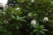 2019年7月20日-山の鼻ビジターセンターより(鳩待峠~山ノ鼻間の花や実等の様子)